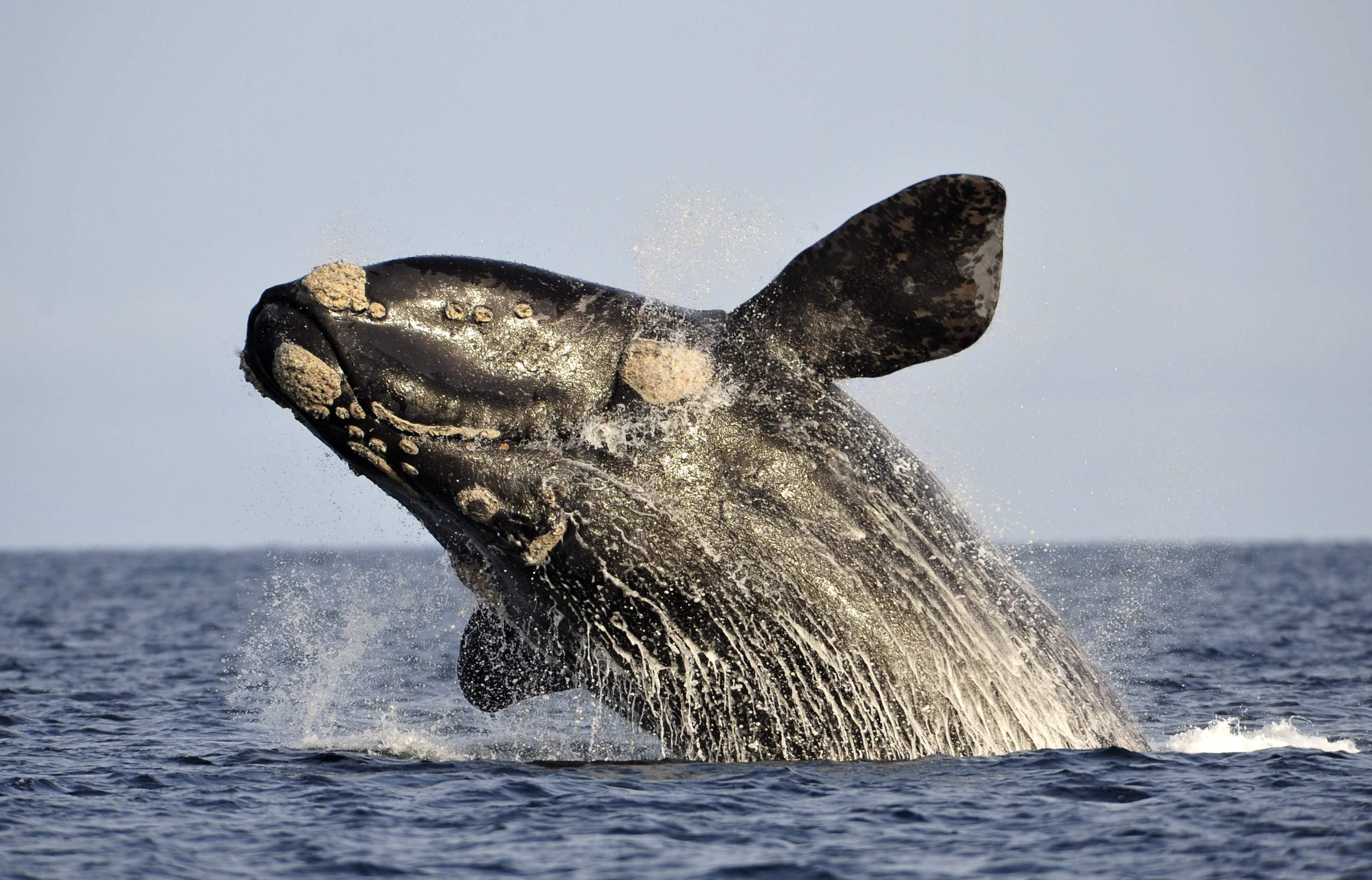 Resultado de imagen para ballena franca austral rio negro